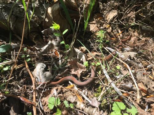 Handsome garter snake