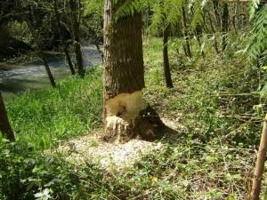chewed-tree